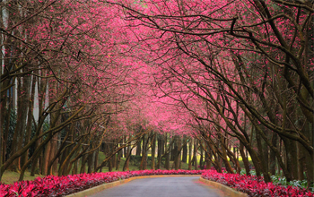 Ngắm hoa anh đào tuyệt đẹp ở hồ Nhật Nguyệt
