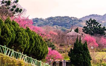 Leo núi Yangmingshan chiêm ngưỡng hoa anh đào
