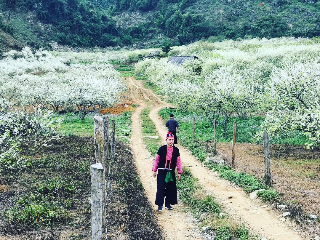 Tết đến, Mộc Châu cuốn hút khách du lịch bằng những thung lũng hoa mận trắng muốt đẹp tuyệt trần